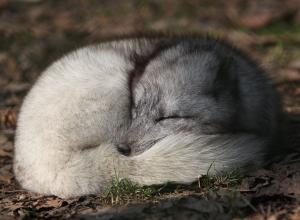 Песец в Швеции стал исчезающим видом