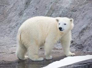 В датском зоопарке неожиданно умерла белая медведица