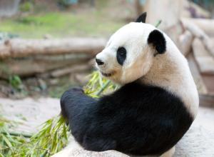 Посетитель зоопарка хотел подраться с пандой, чтобы впечатлить дам, но был жестоко затискан (ВИДЕО)