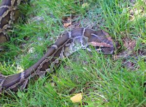 Четырехметровый питон проглотил кенгуру на поле для гольфа