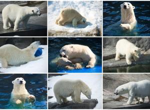 Россия и Норвегия разработали проект плана сохранения белого медведя