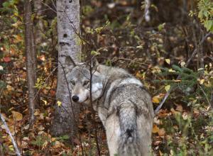 Власти разрешили массовую ликвидацию волков в Норвегии, но можно пожаловаться в Минэкологии