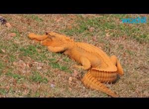 В Южной Каролине живет оранжевый аллигатор (ВИДЕО)