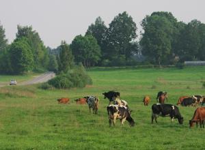 Молния убила 19  коров