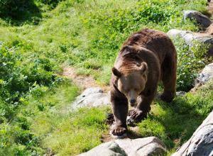 Жители деревни помогли вернуться в лес пьяной медведице