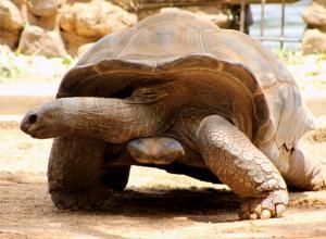 Любвеобильный самец галапагосской черепахи в одиночку спас свой вид от вымирания