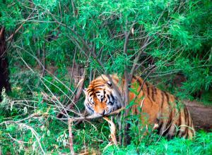 Тигры растерзали тигрицу на глазах у туристов (ВИДЕО)
